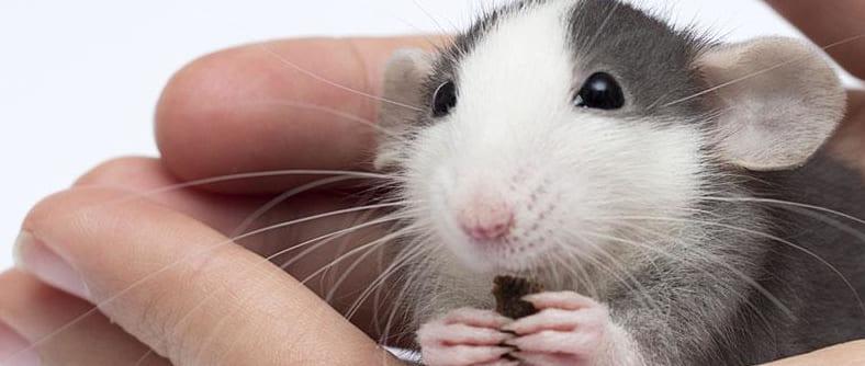 К чему снятся мыши Сонник Фрейда