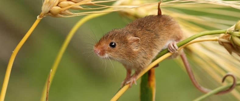 Эзотерический сонник мыши
